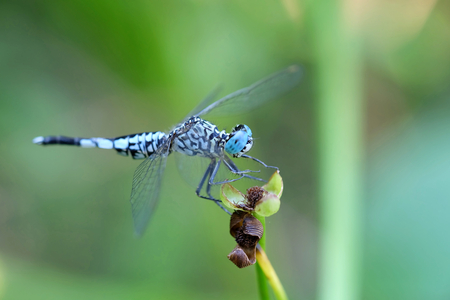 crocothemis: Portrait of a Blue Dragonfly