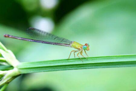 zygoptera: Portrait of a Yellow Damselfly