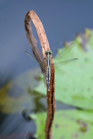 crocothemis: Portrait of a Black Dragonfly Stock Photo