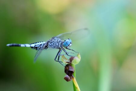 crocothemis: Portrait of a Blue Dragonfly