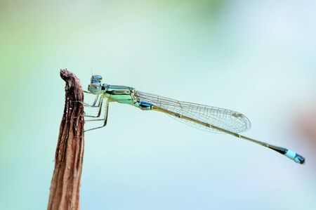 damselfly: Portrait of a Green Damselfly Stock Photo