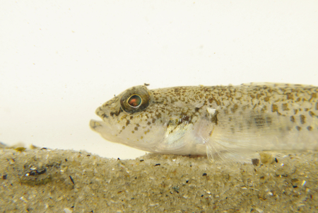 saltwater eel: Portrait of a Dash Goby Fish