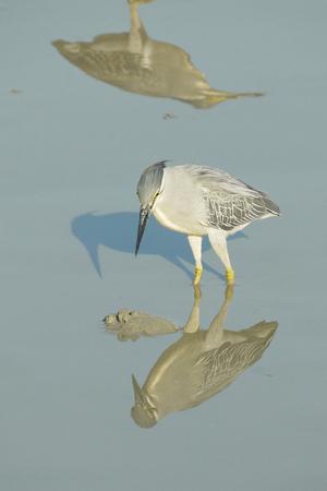 striated: Portrait of a Striated Heron Stock Photo