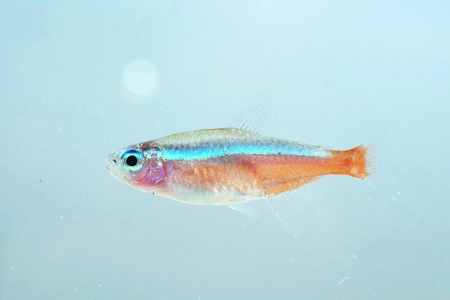 tetra fish: Portrait of a Neon Fish