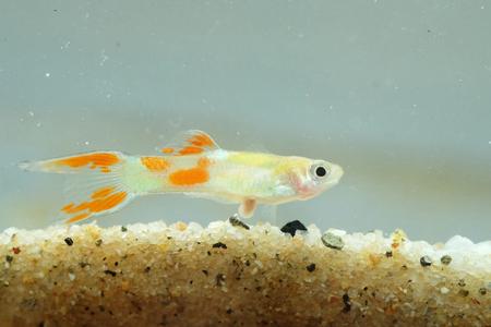 guppy fish: Portrait of a Guppy Fish