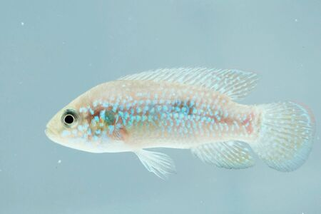 cichlidae: Portrait of an African Jewel Fish