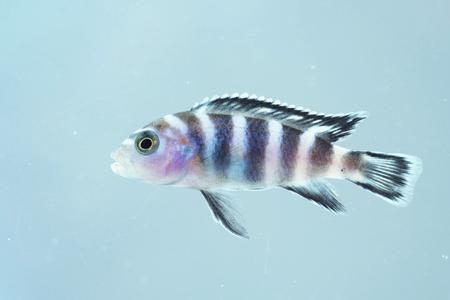 cichlid: Portrait of a Malawi Cichlid