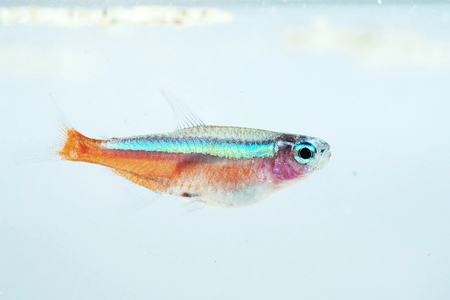 neon fish: Portrait of a Neon Fish