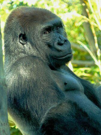 san   diego: Gorilla at San Diego Zoo