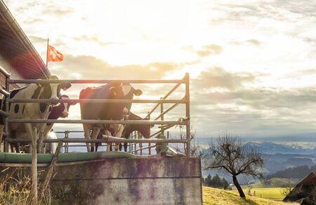 Hejno krav ve vnitrozemské švýcarské farmě na ementálních horách - farmář vyrábějící mléko a slavný švýcarský sýr - koncept označení původu řízených produktů - zaměření na skot - teplý filtr