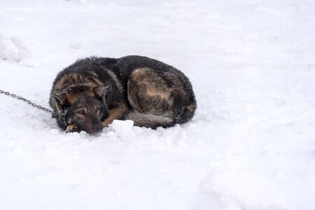 Sad dog curled up on snow and tied to a metal chain