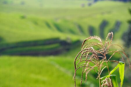 Close up of rice plant in the summer ready for harvest, in the foreground in focus, with a background of blurred, but easily recognizable green terrace fields in the Chinese countryside Фото со стока