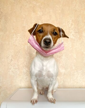 Small dog with a pink face mask or surgical mask. Pets are immune to coronavirus so it is an ironic image because dogs want to imitate all their owners do and get ready for to go out for a walk Banco de Imagens