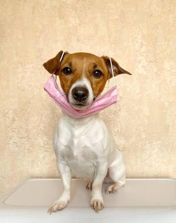 Small dog with a pink face mask or surgical mask. Pets are immune to coronavirus so it is an ironic image because dogs want to imitate all their owners do and get ready for to go out for a walk