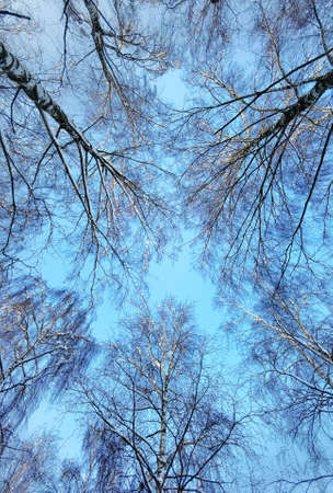 Snow covered winter trees seen from below against a clear blue sky depict a sunny cold winter day