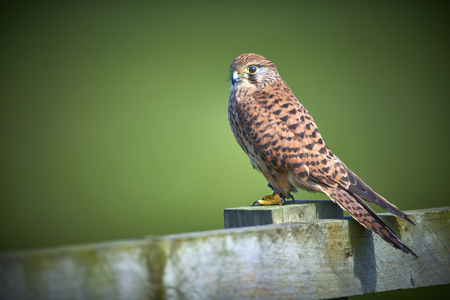 Kestrel perched on fence green background