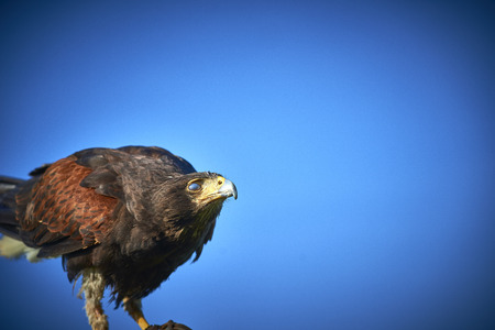 Harris Hawk perched against blue sky
