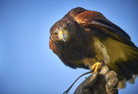 Harris Hawk perched on keepers hand looking to camera 스톡 콘텐츠