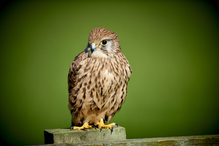 Kestrel perched on fence post 스톡 콘텐츠
