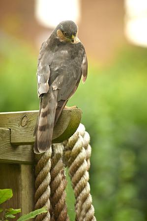 Sparrowhawk  on garden fence