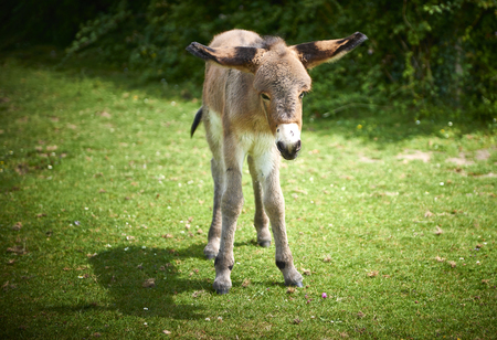 young donkey uncertain on his legs