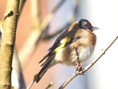 Goldfinch perched in winter sun 스톡 콘텐츠