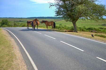 new forest ponies in middle of road in shade of a tree