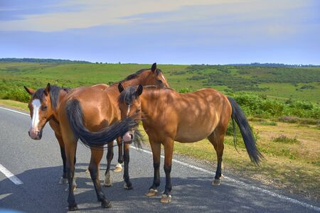 new forest horses standing in middle of road