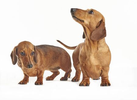 Dachshund, Dogs, on  White Background