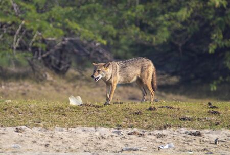 Golden jackal straying in a forest hunting