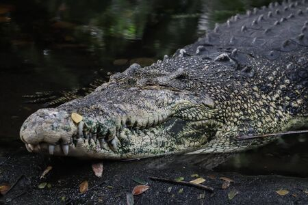 Crocodile taking rest after heavy lunch Archivio Fotografico