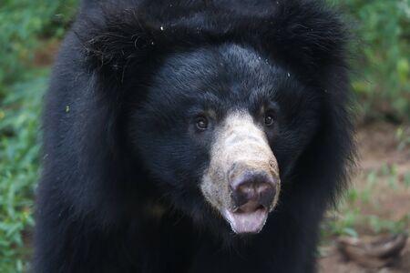 Sloth bear closeup shot