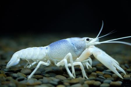 colour: Blue ghost crayfish