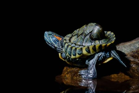 Turtle in black background