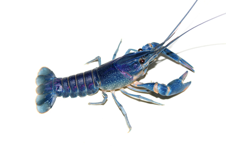 blue crayfish Cherax in the aquarium