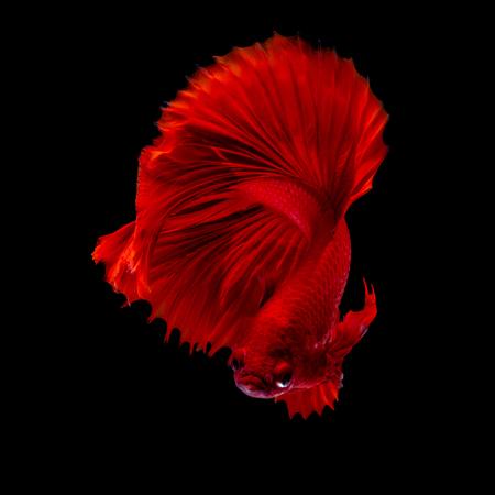 Betta fish Fight in the aquarium black blackground Stock fotó
