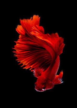 Betta fish Fight in the aquarium black blackground Stock Photo