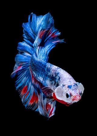 Pesce Betta Lotta nell'acquario blackground nero Archivio Fotografico