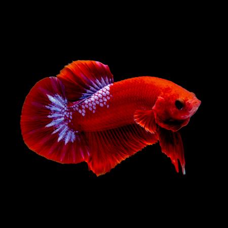 Betta fish  red hellboy in the aquarium black blackground Banco de Imagens