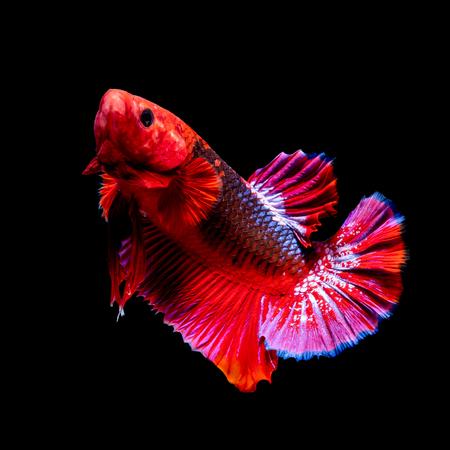 Betta Fish eating food in the aquarium black blackground