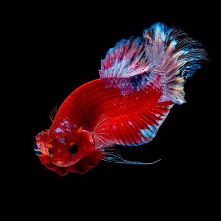 Betta ryb Walka w akwarium czarnym czarnym tle