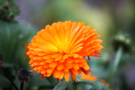 orange calendula flower photo