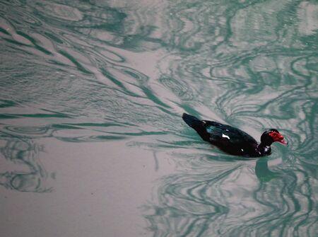 muscovy duck: Muscovy duck