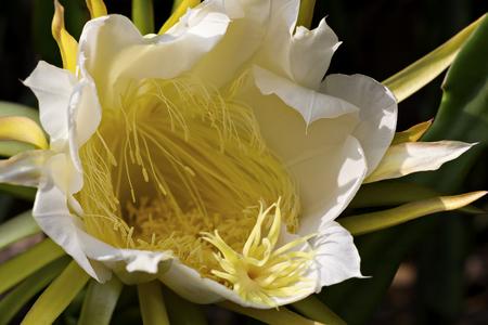 Dragon fruit flower or pitaya flower blooming in the graden (Hylocercus undatus(Haw) Brit. & Rose.).