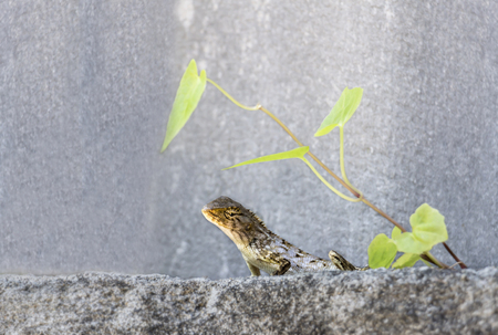 Oriental garden lizard or Calotes versicolor on the wood in tropical forest asia, reptile animals.