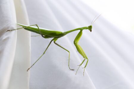 Grasshopper on white background. Life of a Giant Green Praying Mantis, it is predatory insect species inhabiting grasslands.