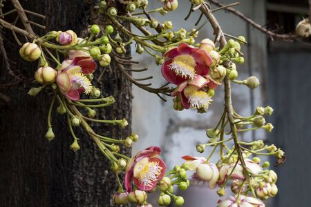 Flower of Shorea robusta or Sala flora on Cannonball tree  with green bokeh background Tree is revered by buddhist people. Stock Photo