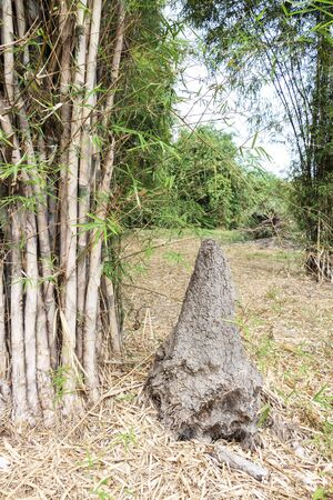 Termite mound or termite in bamboo forest green nature background. All termite is insects species build nests. Stock Photo