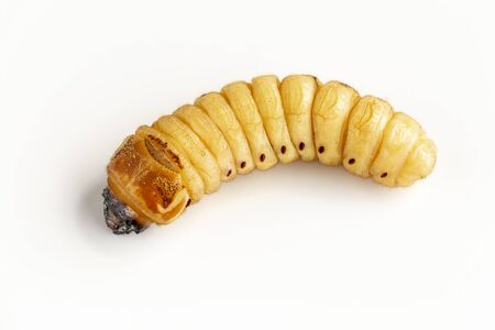 eetle Worm of Scarab Beetle is dangerous insect pest with Mango tree borer. Batocera rufomaculata for eating as food edible insects, it is good source of protein. Environment and Entomophagy concept.