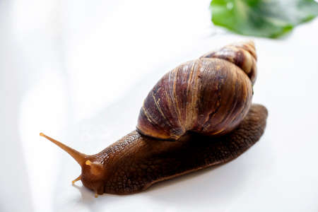 Snail or giant African snail (Lissachatina fulica) is one of the most dangerous pests in agriculture on white background.